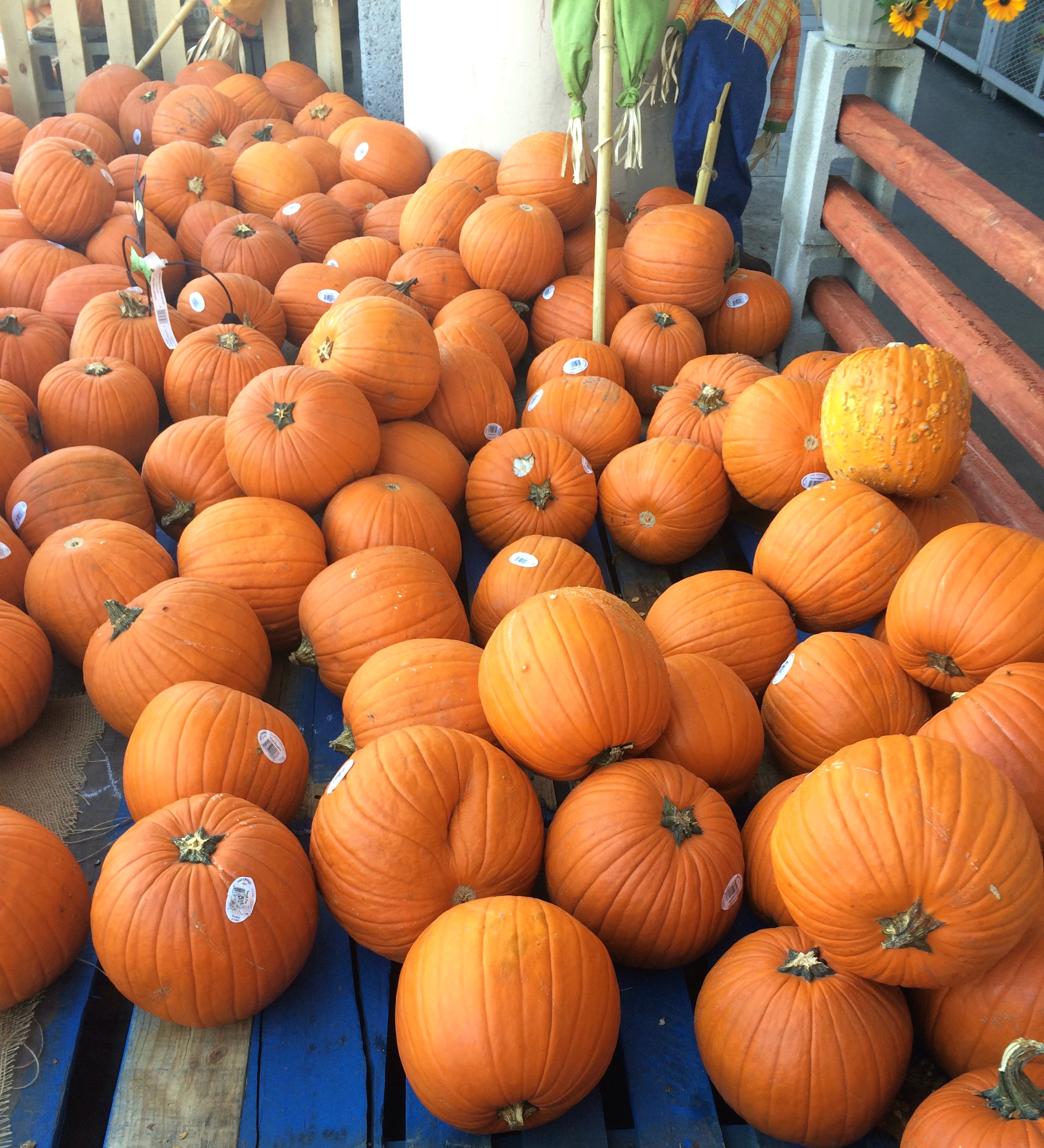 A plethora of pumpkins